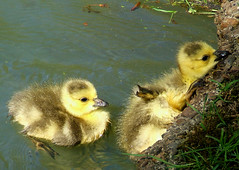 Just A Little Boost Please! (shesnuckinfuts) Tags: birds geese babies goslings karma birdbrained springtime backyardpond naturesfinest kentwa newfamily featheryfriday saywa ilovebirds experiencewa shesnuckinfuts washingtonstateoutdoors april282007