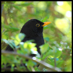Close to... (vanstaffs) Tags: bird explore turdusmerula blackbird interestingness315 i500 superbmasterpiece beyondexcellence 1on1bokehdof 1on1bokehdofphotooftheday 1on1bokehdofphotoofthedaymay2007