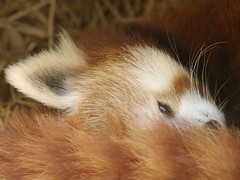 Jiao... snoozing (pixelmasseuse) Tags: redpanda jiao californiasealion diamondclassphotographer flickrdiamond superhearts