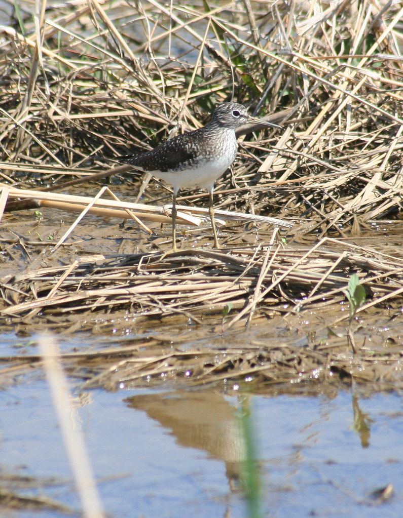 solitary sandpiper with reflection