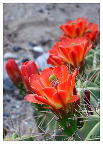 red cactus DSCF1737