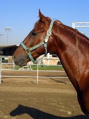 Jazz-May07-64 (bakingbites) Tags: portrait horses horse head profile jazz chestnut stallion asb saddlebred saddlebreds