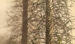 Boojum (studioferullo) Tags: art beauty botanical boojum big branch branches bright colorful yellow green brown contrast detail garden leaf light minimalism nature natural outdoor outdoors outside park plant plants pattern organicpattern pretty scene shadow shadows study sunny sunshine sunlight texture tone tones tree world desertbotanicalgarden phoenix arizona
