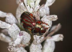Rosemary Beetle - Chrysolina americana (Prank F) Tags: insect macro closeup beetle rspb thelodge sandy bedfordshireuk wildlife nature leaf rosemary chrysolinaamericana