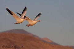 Snow Goose - IMG_2342 (arvind agrawal) Tags: snowgoose goose bosquedelapache newmexico 2009 canon50d canoneos50d canon400mmf56 canon400mm bird wildlife bif