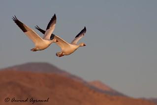 Snow Goose - IMG_2342