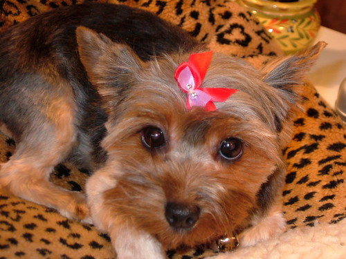 Yorkie Haircuts Short Image Search Results