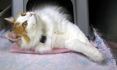 "Gypsy Appeals to the ""God of Cats"" for a Forever Home (Pixel Packing Mama) Tags: beautiful catwomen pretty niceshot greatshot 500views catsandkittensset omg 15favoritesonly thecatsmeow catlovers heartlandhumanesociety v500 beautifulcats catpix pixelpackingmama catssmalltobig dorothydelinaporter views500 worldsfavorite i500 whitegingercats impressionsexpressions beautifuluniverse catsworld cc500 montanathecat~fanclub gattigattinigattoni catscookiecatfriends favoritedpixset mostinterestingaccordingtoflickralgorithmset spcacatspool spcacats cat500 beautyinintheeyeofthebeholder interestingness48120jan07 catsthatqualitytobeinthecatsmeowgroupset pet100 commentedwithanicondirectorygroup views501600 views1000andupdomesticcatsonlypool uploadedfirsthalf2007 chosenbyflickrexploreset oversixmillionaggregateviews over430000photostreamviews"