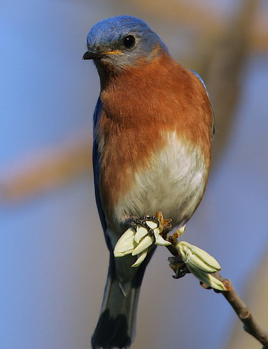 Eastern Bluebird  By Mark Trabue