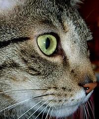 the eye of my tiger (karin_b1966) Tags: eye animal cat felines katze nuggets auge haustier dems tier boyswillbeboys catportraits standingovation animalportraits domesticanimal catphotos beautifulcats stubentiger catfaces views100 beautyofnature theworldthroughmyeyes ourcat