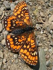 scarce fritillary - hypodryas maturna (Over 5 million views!) Tags: butterfly hungary butterflies fritillaries fritillary scarcefritillary hypodryasmaturna
