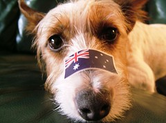 Happy Australia Day! (Catalia) Tags: dog sticker terrier jackrussell aussie australiaday indi australianflag outstandingshots abigfave impressedbeauty
