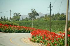 Gladiolus Road Border (RobW_) Tags: road flowers flower southafrica vines border january vineyards valley gladiolus 2007 robertson westerncape breederiver jan2007 25jan2007