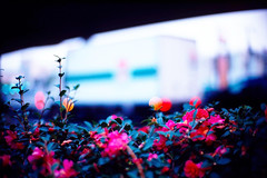 from the roadside (moaan) Tags: life leica truck 50mm dof bokeh f10 noctilux camellia leicam7 2007 m7 kodakektachrome64 route43 inlife leicanoctilux50mmf10 gettyimagesjapanq1 gettyimagesjapanq2