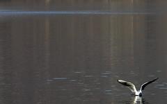 Hesitating (Lumase) Tags: bird wings gull lakeview birdwatching italians hesitating readytofly lumase ultimateshot