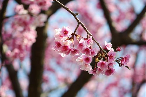 台北 陽明山 櫻花 Taipei Sakura