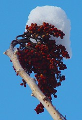 DSC02231adj Snowy Berries (ftoomschb) Tags: blue winter red snow nature backyard berries