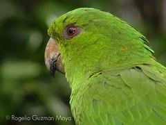 Verde (Rogelio Guzmn-Moya) Tags: loro top20bokeh rogelioguzmnmoya philidor2001 aplusphoto