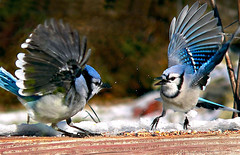 A Big Squabble (dee_r) Tags: birds bravo bluejays soe supershot magicdonkey instantfave outstandingshots specanimal animalkingdomelite abigfave outstandingshotshighlight anawesomeshot avianexcellence