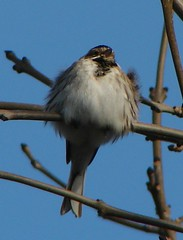 Fluffed-up Reed Bunting