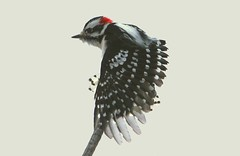Downy Woodpecker (male) (Hard-Rain) Tags: winter male bird illinois woodpecker downywoodpecker picoidespubescens aves naperville specanimal springbrookprairie