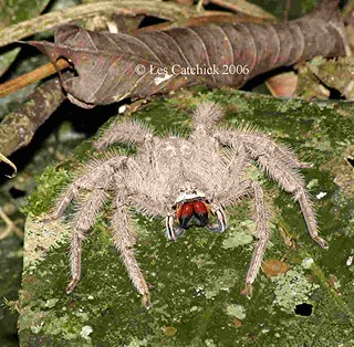 Hunstman spider (a Heteropoda, probably javana-group is the definitive closest ID it seems)