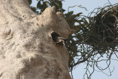 Mynah depositing nesting material inside(13)