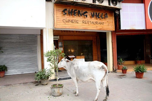 Cow eating Chinese