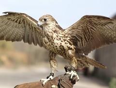 barcelona birds aves viladecans falcocherrug remolar deltallobregat halcondesaker halconsacre fauconsacre