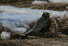 Sign of spring (zen granny) Tags: bird robin signofspring naturesfinest
