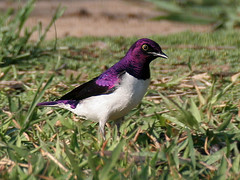 Violet-backed starling (male) (aka Plum-colored starling) (Jim Scarff) Tags: southafrica cinnyricinclusleucogaster violetbackedstarling birdsgs birdsgsnewspecies birdsgsadded