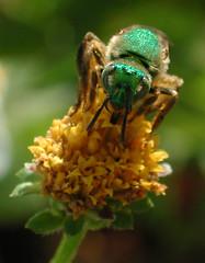 Virescent Green Metallic Bee (Scott Kinmartin) Tags: flower green bee honey honeybee virescentgreenmetallicbee abigfave greenbackbee