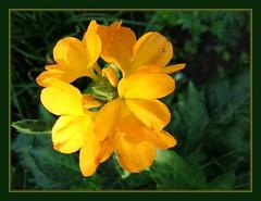 Crossandra infundibuliformis/undulifolia 'Lutea' (Yellow Crossandra)