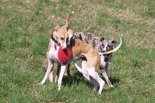 Whippets in action (Nisha, Coco, Pluto)
