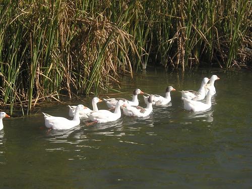 Patos en el rio, 2