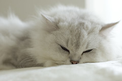 DSC_6566 (junku) Tags: cats white beautiful beauty animals japan cat tokyo kitties 猫 hime ねこ ネコ チンチラ