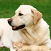 1labrador_retriever