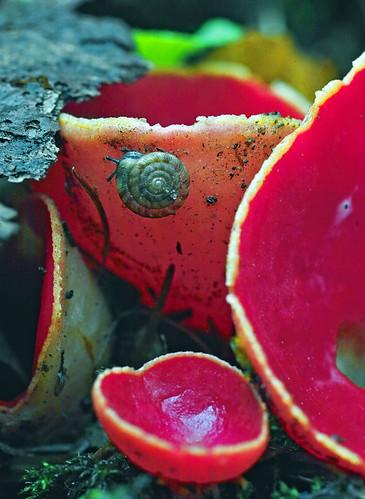 Aleuria fungi probable