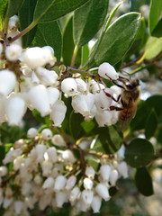 manzanita -- Arctostaphylos sp. and bee