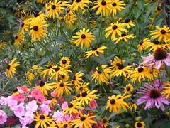 flowers (eframes) Tags: garden blackeyedsusan impatients