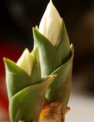 Tiny Tulips (Kirsten M Lentoft) Tags: white flower closeup spring dof tulip naturesfinest momse2600 kirstenmlentoft