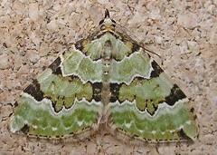 1776-DSCN1880 Green Carpet (Colostygia pectinataria) (ajmatthehiddenhouse) Tags: geometridae larentiinae moth garden stmargaretsatcliffe kent colostygia pectinataria colostygiapectinataria greencarpet uk