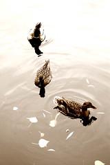 Estanque III (Payuta Louro) Tags: trip travel viaje sepia hojas photo agua budapest reflejo estanque vodafone louro ondas patos virado desaturacin convencin ltytr1
