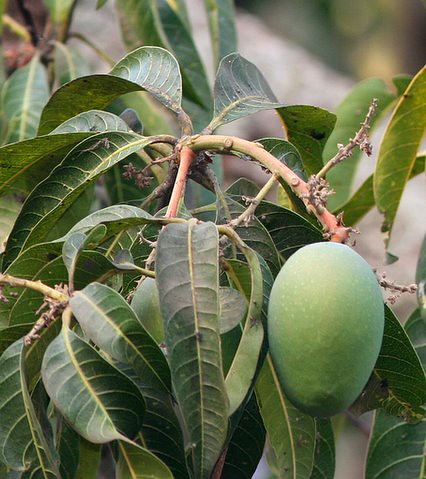 Mangifera Indica-Summer in India