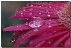Droplet Queen (Cesar R.) Tags: pink flower macro nature wet water closeup d50 agua nikon waterdrop flor rosa drop nikond50 explore cesar gerbera micro droplet margarita 60mm gota nikkor mojada beautifulearth dropplet nikor supershot outstandingshots anawesomeshot wowiekazowie cesarr