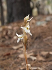 Orquidea (Schiedeella eriophora)
