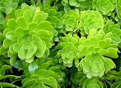Verde (IV) (.Bambo.) Tags: plants verde green flora plantas canarias crassulaceae suculentas áfrica xirivella crasas lhortasud rosetas aeoniumarboreum shininggreen parquepabloiglesias