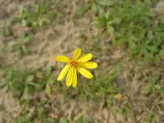Yellow wild flower (Cosmic Jans) Tags: flowers water march spring texas kilgore refelections