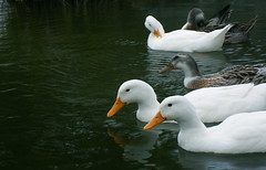(Marcelo_Bustamante) Tags: white blanco water stain lago pond agua ducks tranquility estanque patos tranquilidad