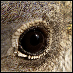 eye (strangemagee) Tags: macro eye nature bravo westernbluebird 1on1macrosphotooftheday 1on1macrosphotoofthedaymar2007